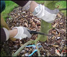 Pruning of fruit-trees and